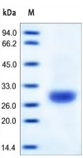 SDS-PAGE - Carbonic Anhydrase II protein (Active) (ab167716)