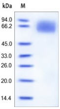 SDS-PAGE - IL6R protein (Active) (ab167742)
