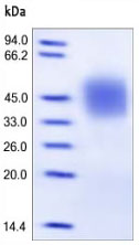 SDS-PAGE - CD16 protein (Active) (ab167758)