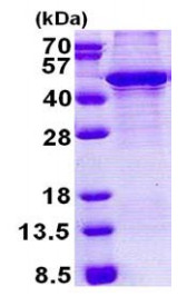 SDS-PAGE - KLF3 protein (His tag) (ab167832)