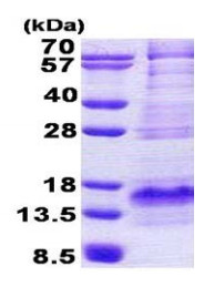 SDS-PAGE - Bex1 protein (His tag) (ab167840)