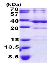 SDS-PAGE - BSND protein (His tag) (ab167848)