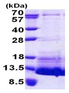 SDS-PAGE - proCNP protein (His tag) (ab167863)