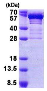SDS-PAGE - Secretogranin 3 protein (His tag) (ab167866)