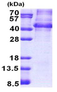 SDS-PAGE - NANOGP8 protein (Human) (ab167873)