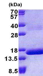 SDS-PAGE - HBQ1 protein (His tag) (ab167880)