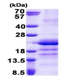 SDS-PAGE - GATC protein (His tag) (ab167898)