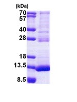 SDS-PAGE - TSTD3 protein (His tag) (ab167916)