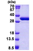 SDS-PAGE - NSMCE1 protein (Tagged-His Tag) (ab167918)