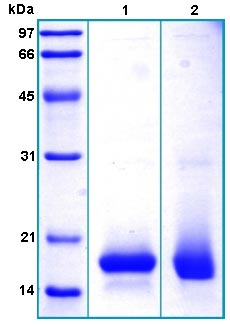 SDS-PAGE - SPRR1b protein (His tag) (ab167925)