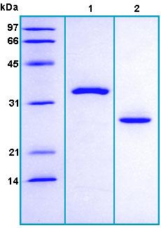 SDS-PAGE - Prostate Specific Antigen protein (Human) (ab167932)