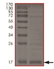SDS-PAGE - MDM2 protein (His tag) (ab167941)