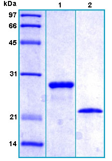 SDS-PAGE - Fam3a  protein (His tag) (ab167946)