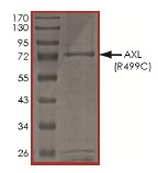 SDS-PAGE - Axl protein (Active) (ab167950)