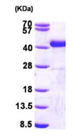 SDS-PAGE - Sorbitol Dehydrogenase protein (Active) (ab167975)