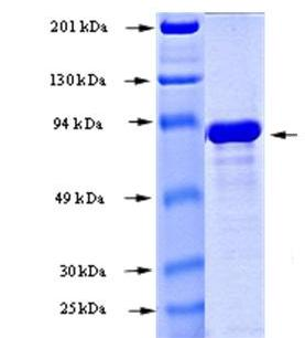 SDS-PAGE - AKT3 protein (Active) (ab168019)