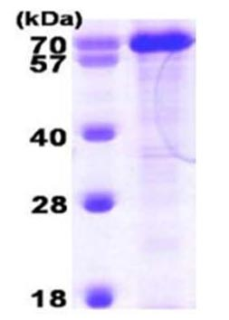 SDS-PAGE - PPIL4 protein (Active) (ab168028)