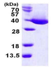 SDS-PAGE - mdh protein (Active) (ab168033)