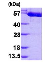 SDS-PAGE - Active human PKM2 full length protein (ab168037)