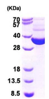 SDS-PAGE - Thioredoxin reductase protein (Active) (ab168038)
