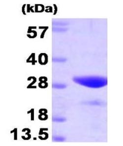 SDS-PAGE - FKBP25 protein (Active) (ab168040)