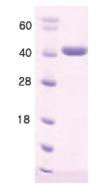 SDS-PAGE - Hsp40 protein (His tag) (ab168046)