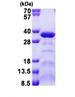 SDS-PAGE - SPAG7 protein (Tagged-His Tag) (ab168077)