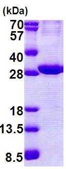 Western blot - ATPase Na+/ K+  beta 2 protein (His tag) (ab168084)