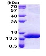 SDS-PAGE - XTP4 protein (His tag) (ab168086)