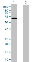 Western blot - Anti-NOC4L antibody (ab168121)