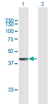 Western blot - Anti-FAM55A antibody (ab168285)