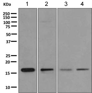 Western blot - Anti-RPS15 antibody [EPR11105] (ab168361)