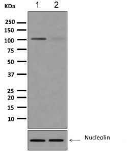 Western blot - Anti-Nucleolin (phospho T76) antibody [ EPR8080-2] (ab168363)