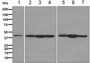 Western blot - Anti-EXTL2 antibody [EPR11130] (ab168391)