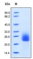 SDS-PAGE - Flt3 ligand protein (Active) (ab168707)