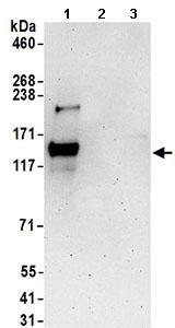 Western blot - Anti-GRIP1 antibody (ab168848)