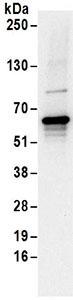 Immunohistochemistry (Resin sections) - Anti-EDC3 antibody (ab168851)