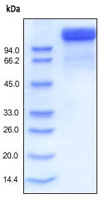 SDS-PAGE - Semaphorin 4D protein (Fc Chimera Active) (ab168894)
