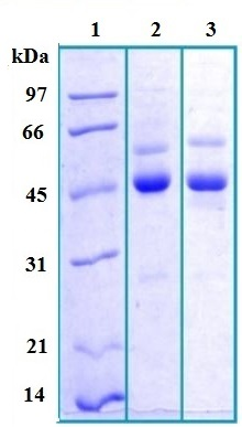 SDS-PAGE - Zinc Alpha 2 Glycoprotein protein (Human) (ab168906)