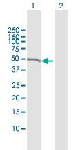 Western blot - Anti-Nck antibody (ab168940)