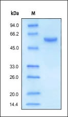 SDS-PAGE - Carboxypeptidase H protein (Active) (ab169054)