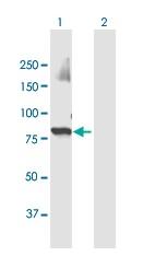Western blot - Anti-ZNF650 antibody (ab169188)