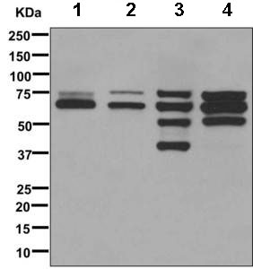 Western blot - Anti-Lamin A + C antibody [EPR4519(2)] (ab169532)