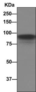 Western blot - Anti-CD105 antibody [EPR10145] (ab169545)