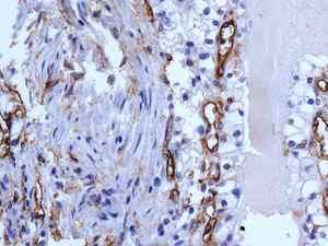 Immunohistochemistry (Formalin/PFA-fixed paraffin-embedded sections) - Anti-CD105 antibody [EPR10145] (ab169545)