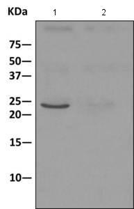 Immunoprecipitation - Anti-SPC24 antibody [EPR11548(B)] (ab169786)