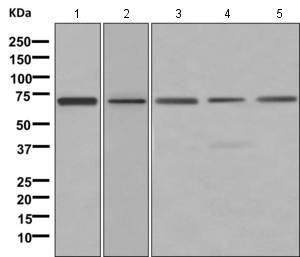Western blot - Anti-DRIL1 antibody [EPR11288] (ab169787)