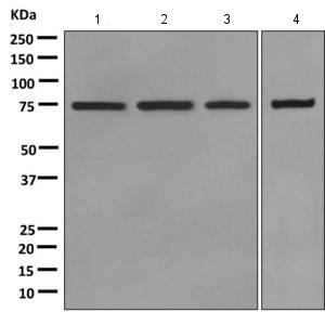 Western blot - Anti-Moesin antibody (ab169789)