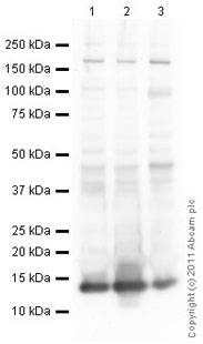 Western blot - Anti-Histone H4 antibody [mAbcam 17036] (ab17036)