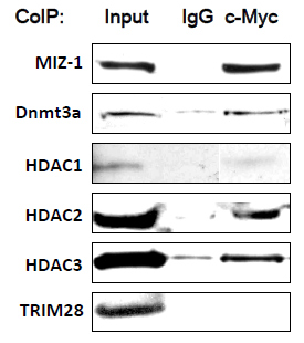 Immunoprecipitation - Anti-c-Myc antibody [8] - ChIP Grade (ab17355)